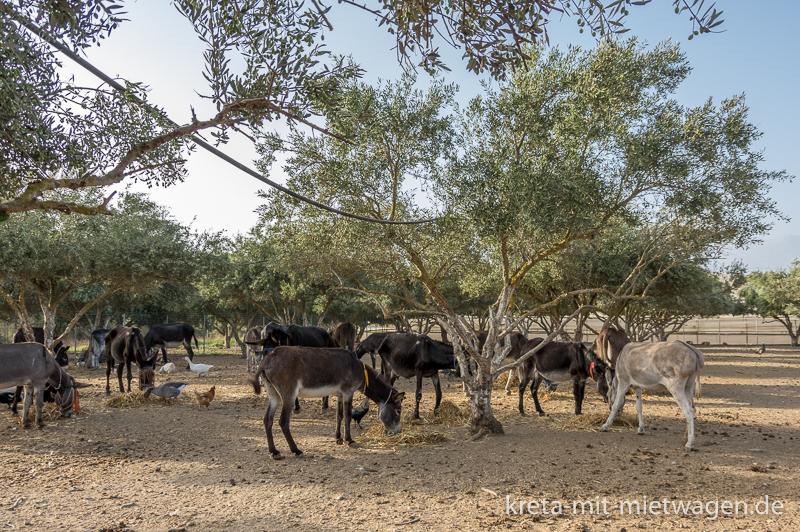 The donkey herd of Agia Marina